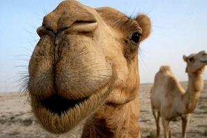 Тернополю для повного щастя не  вистачає... верблюда